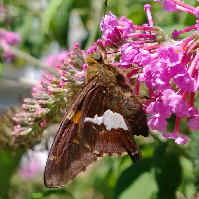 Lumia_1020_Moth_Crop
