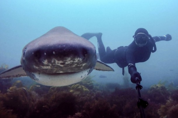 PIC FROM CATERS NEWS - (PICTURED: Shark selfie) These snap happy scuba girls have taken the selfie stick to new depths  by taking a series of extraordinary underwater photos with exotic sea life. While selfie sticks may be recent fad, pretty divers Margo Sanchez and Stephanie Adamson have been snapping photos of marine animals for the best part of a decade. The intrepid divers from San Diego, California, have made it their life mission to travel the world to take snaps with everything from turtles, puffer fish to sting rays and baby squid. But despite having travelled as far afield as Papua New Guinea, the Maldives and Virgin Islands to take these incredible photos, the selfie stick is only a recent edition to their trips. SEE CATERS COPY.